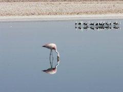 Flamingos_bei_San_Pedro_de_Atacama.jpg