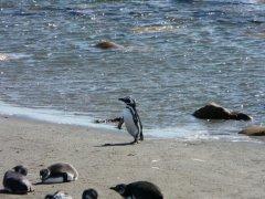Darwin_Pinguin_Punta_Arenas.jpg