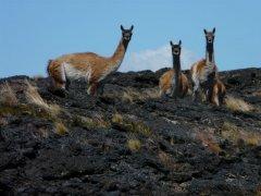 Guanacos_im_Pali_Aike_Nationalpark.jpg