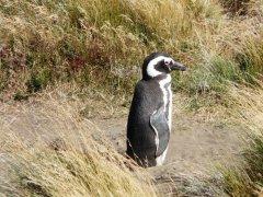 Pinguin_Semi_Ottway.jpg
