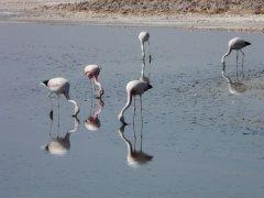Flamingos_Salar_de_atacama.jpg
