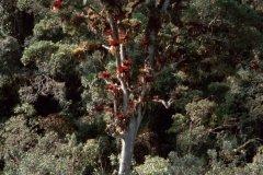 Guanderabaum.jpg