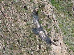 Condor_Colca_Canyon.jpg